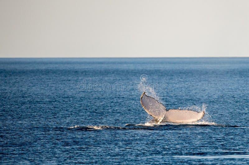 游泳在澳大利亚的驼背鲸 免版税库存图片