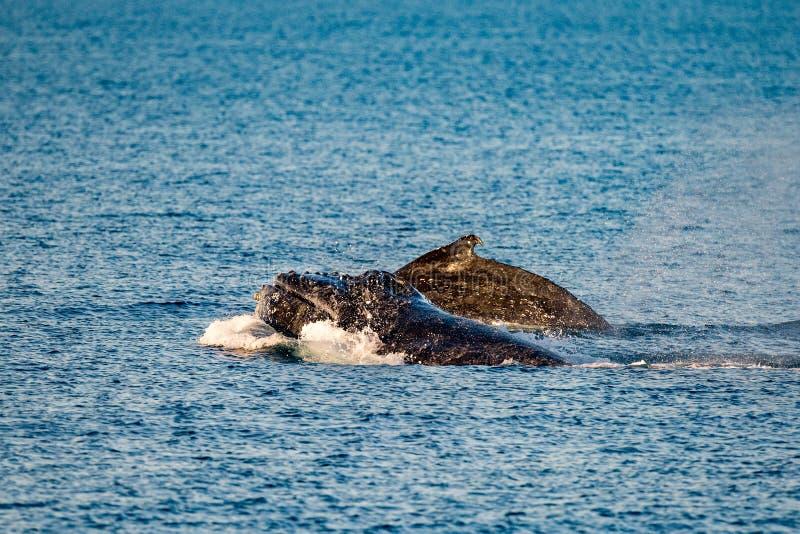游泳在澳大利亚的驼背鲸 免版税库存照片