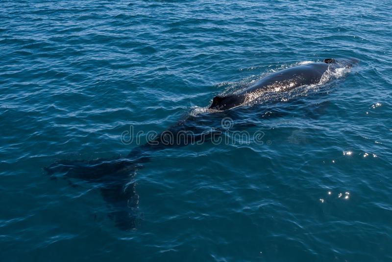 游泳在澳大利亚鲨鱼海湾的驼背鲸 库存图片