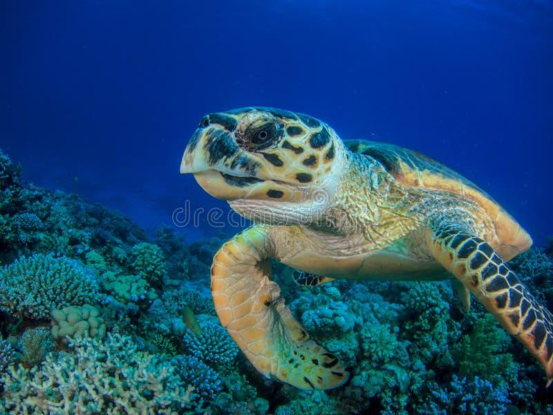 游泳在珊瑚礁特写镜头的乌龟 图库摄影