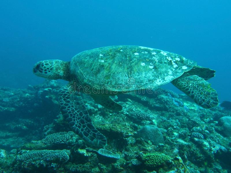 游泳在珊瑚礁的绿海龟 免版税库存照片