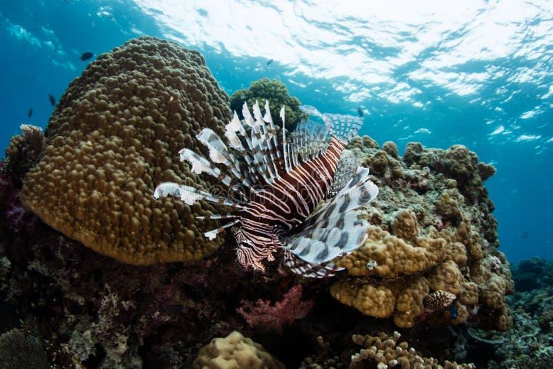 游泳在礁石的蓑鱼 免版税图库摄影