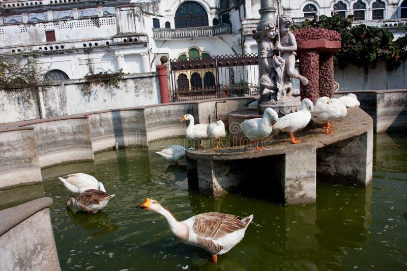 游泳在老喷泉的家养的鹅 库存照片