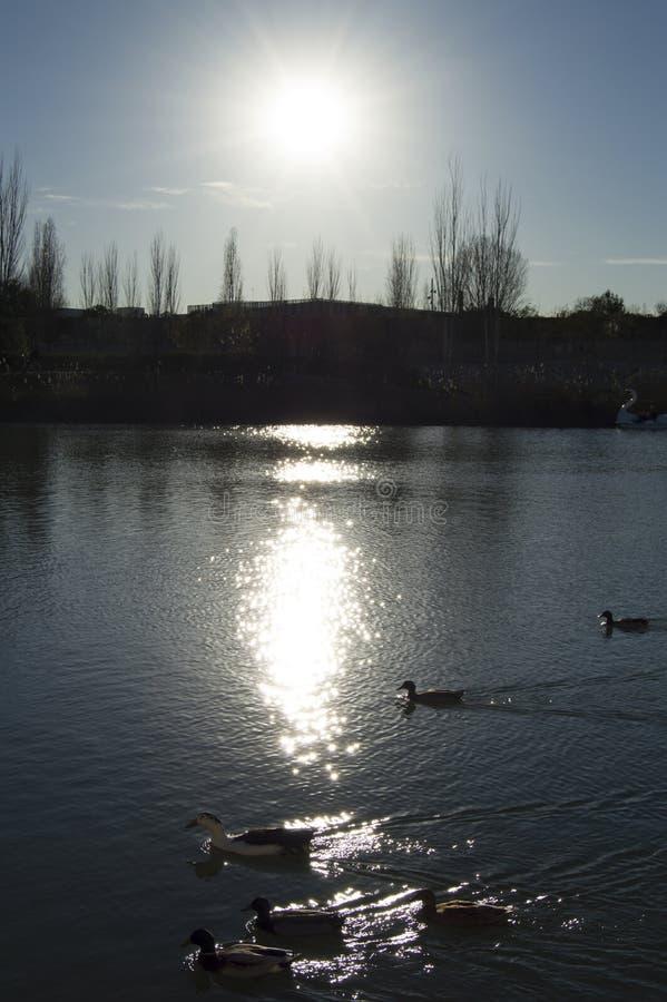 游泳在被反射的太阳的鸭子 免版税库存图片