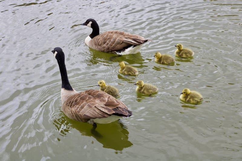 游泳在镇静水中的两只鹅和五只幼鹅 库存照片