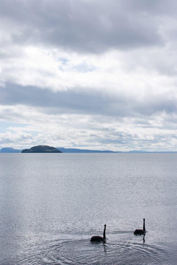 游泳在陶波湖的两黑天鹅在北岛在新西兰,一个海岛在背景中 库存照片