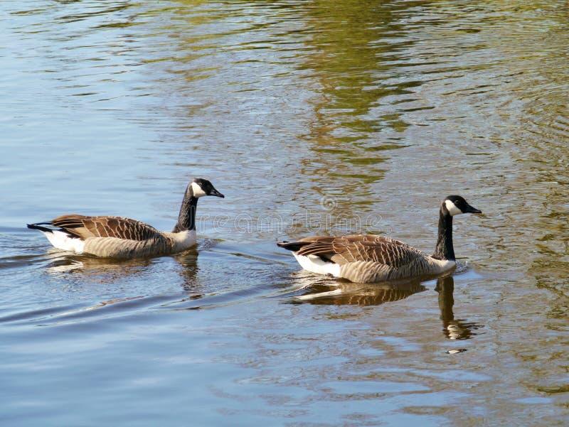 游泳在水池的两只加拿大鹅 库存图片
