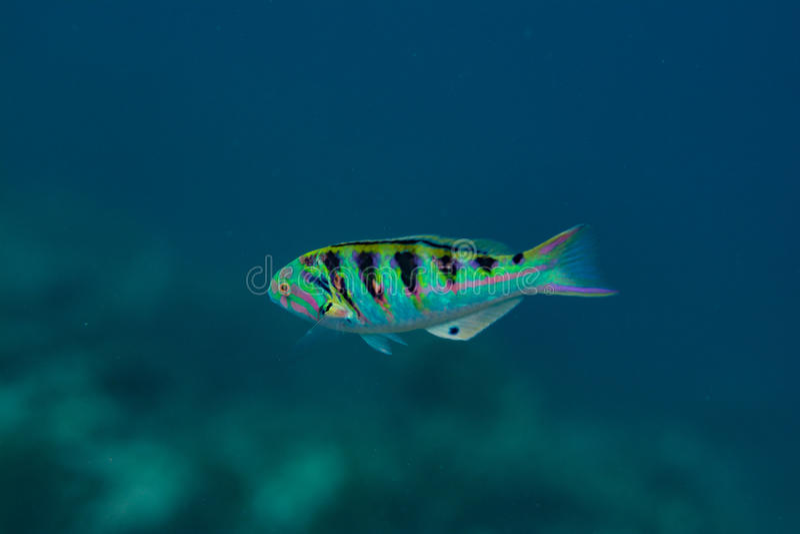 游泳在水面下在印度洋的热带五颜六色的鱼在马尔代夫 库存图片