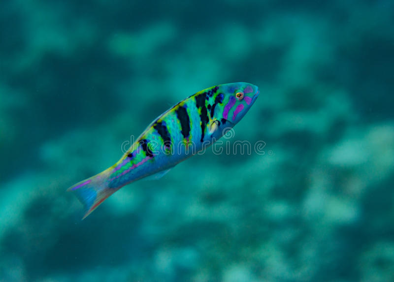 游泳在水面下在印度洋的热带小五颜六色的鱼在马尔代夫 免版税库存照片