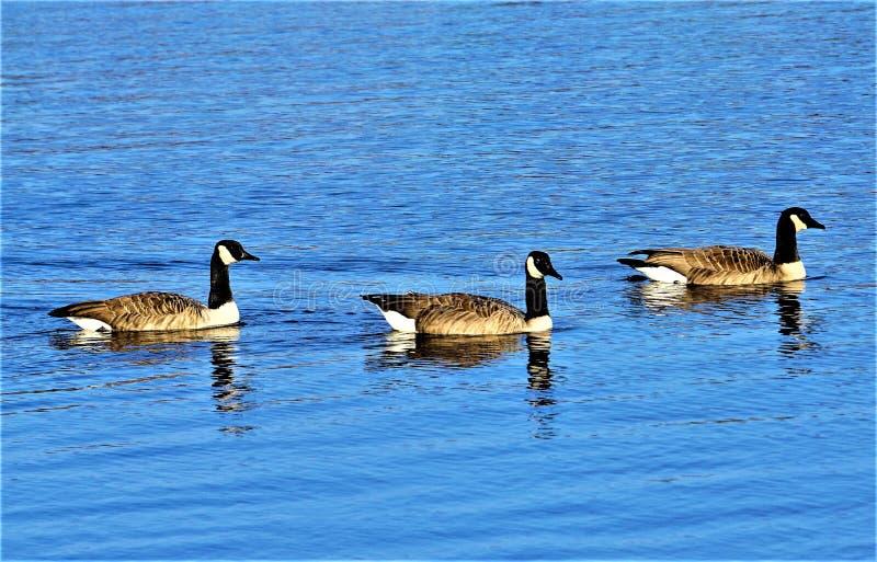 游泳在Kalamazoo河的加拿大鹅 免版税库存照片