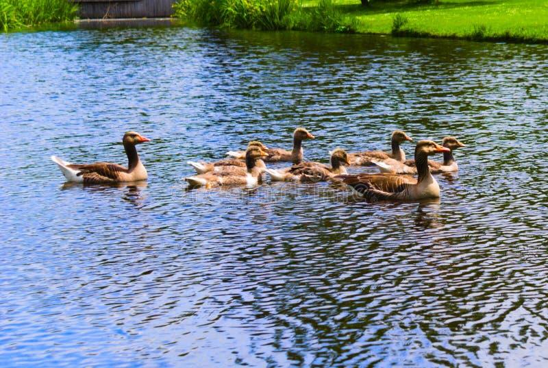 游泳在vondelpark的鸭子游泳在运河 免版税库存照片