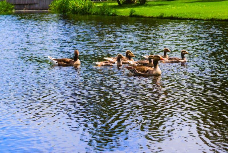 游泳在vondelpark的鸭子游泳在运河 免版税库存图片