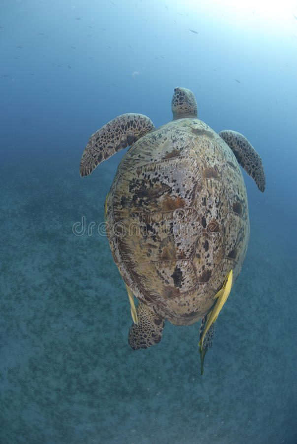 游泳对乌龟的绿浪表面  免版税库存图片