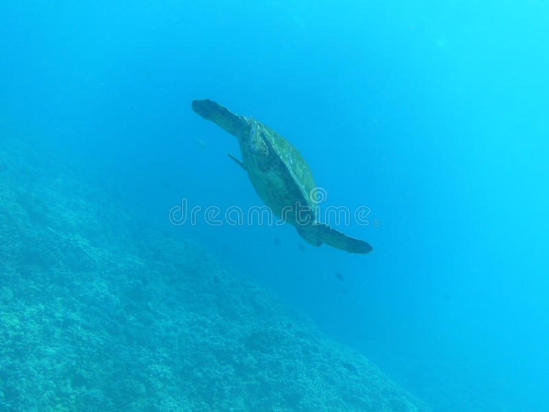 游泳对Ocean& x27的海龟; s表面 免版税图库摄影