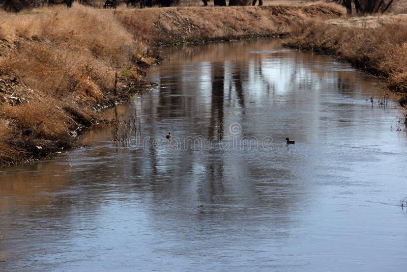 游泳小河的鸭子 库存图片