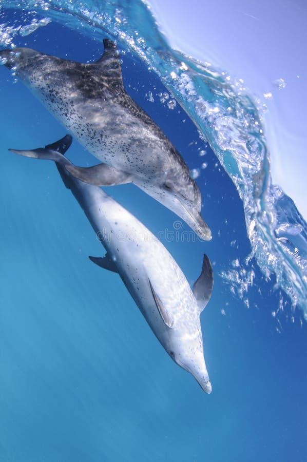 游泳海洋表面上的对海豚在巴哈马 图库摄影