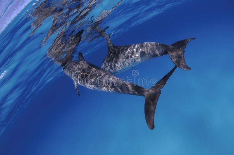 游泳海洋表面上的对逗人喜爱的海豚 免版税库存照片
