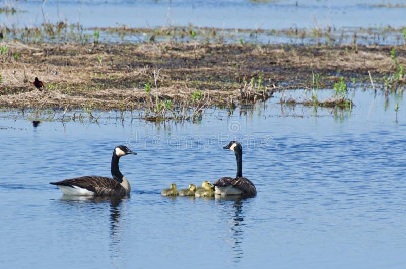 游泳用他们的幼鹅的加拿大鹅 库存图片