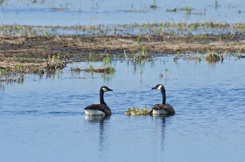 游泳用他们的幼鹅的加拿大鹅 免版税图库摄影