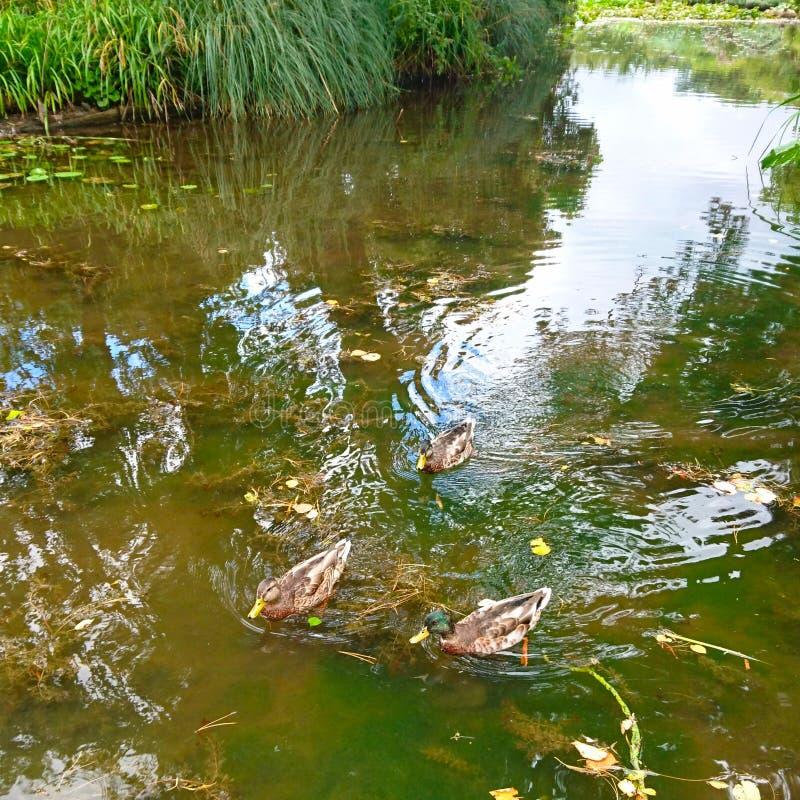 游泳由池塘的鸭子 免版税库存照片