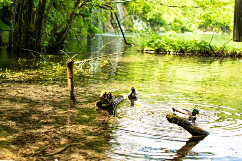 游泳由湖的透明的水的两只共同的鸭子和在走象朋友的一些树枝中 库存图片