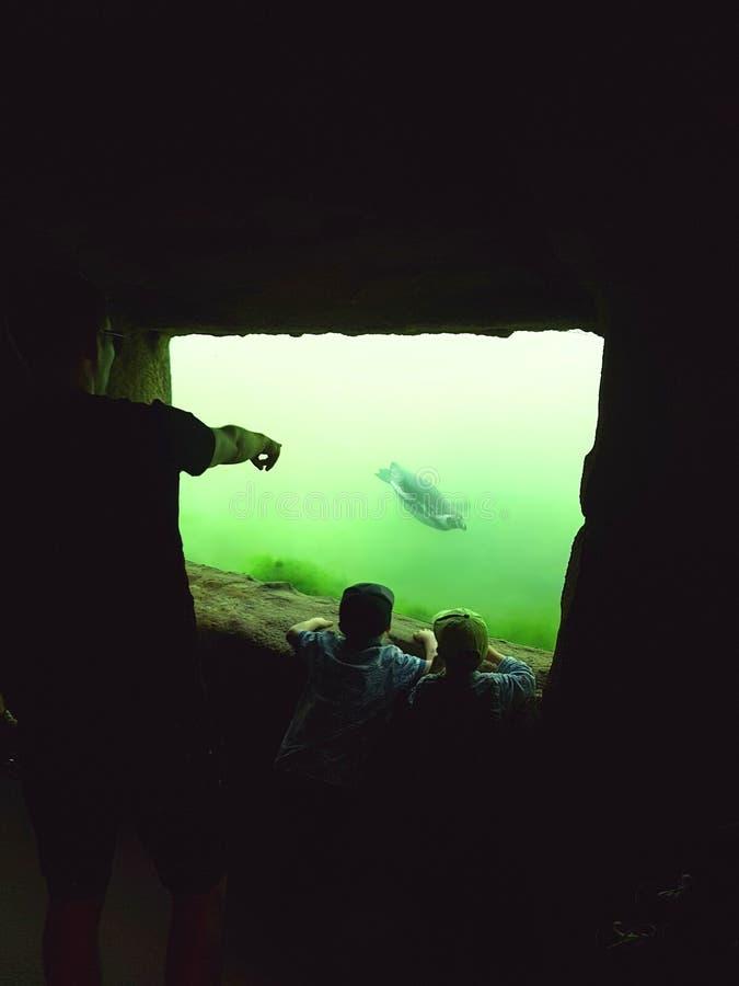游泳的企鹅在水面下 免版税图库摄影