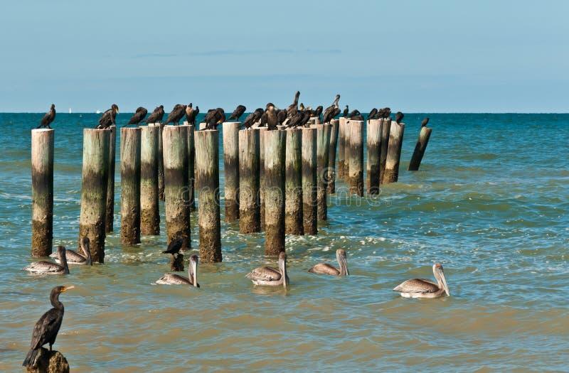 游泳的棕色鹈鹕和休息的二重有顶饰鸬鹚在木打桩 免版税库存图片