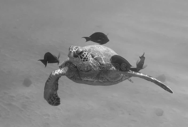 游泳的海龟关闭往与鱼黑色丝毫的照相机 库存图片