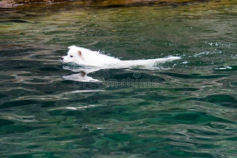 游泳的狗在水中 免版税库存照片