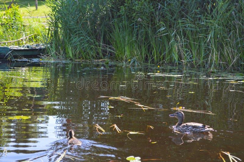 游泳的老木破旧的被毁坏的残破的小船在河、湖、海草的和芦苇的银行本质上 免版税库存照片