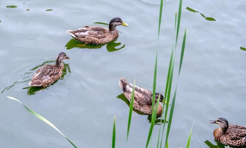 游泳的野鸭在有绿色仓促的一个池塘 免版税库存图片