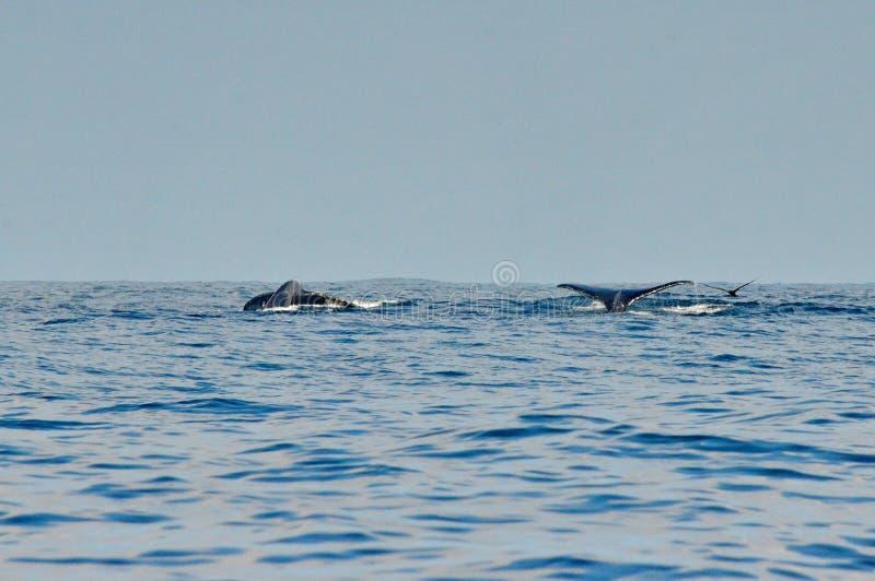 游泳表面上的驼背鲸 免版税库存照片