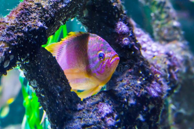 游泳通过一些珊瑚水下的海洋野生生物动物画象的五颜六色的热带鱼 免版税库存图片