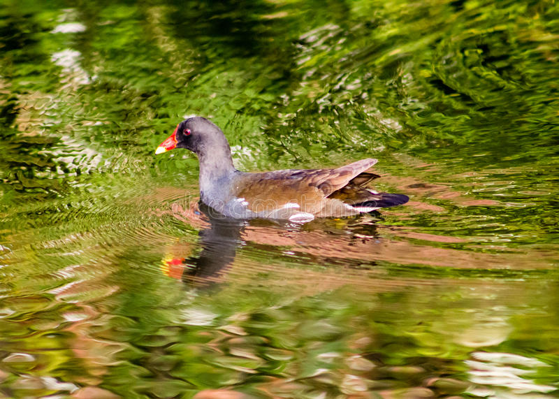 游泳雌红松鸡 库存照片