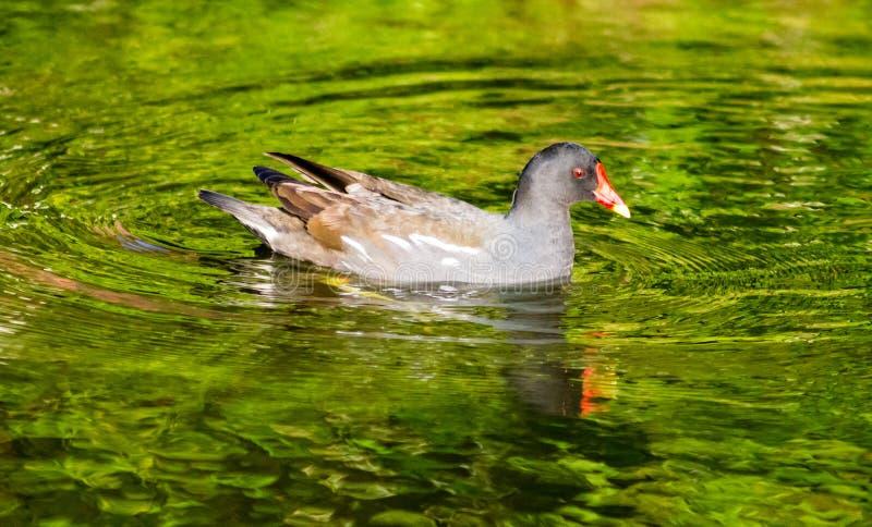 游泳雌红松鸡 免版税库存图片