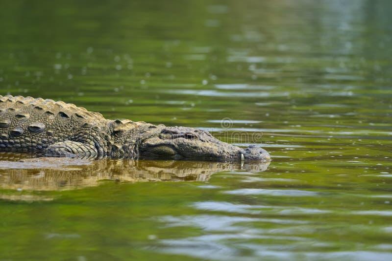 游泳鳄鱼反射 免版税库存照片