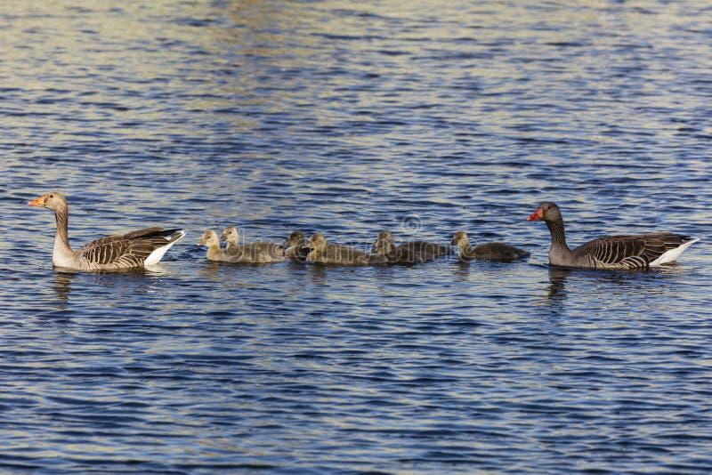 游泳鸭子家庭 免版税图库摄影