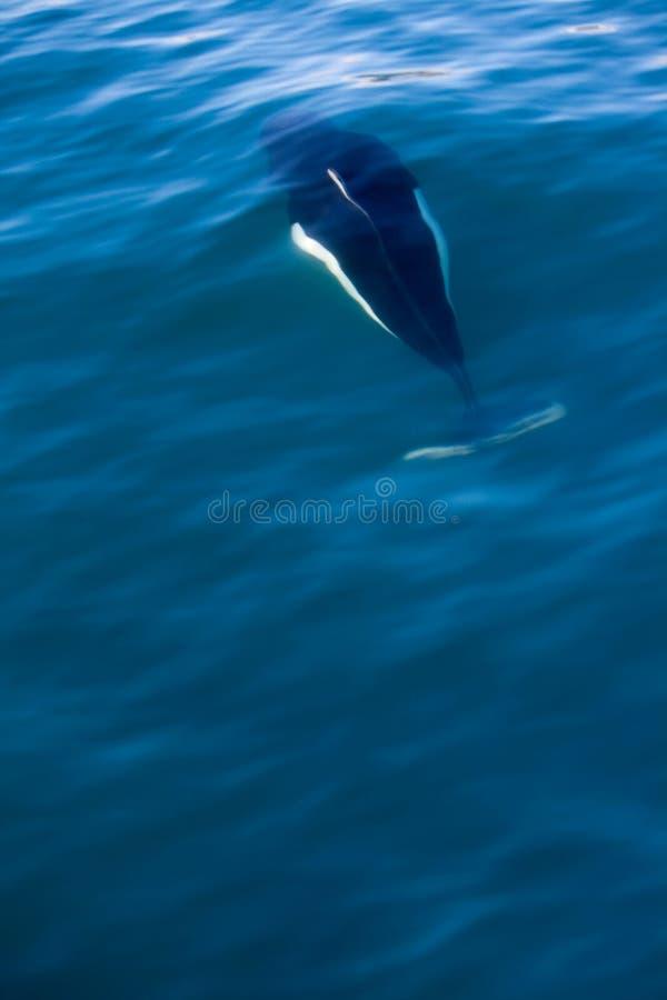 游泳Dall的海豚在水面下 免版税库存照片