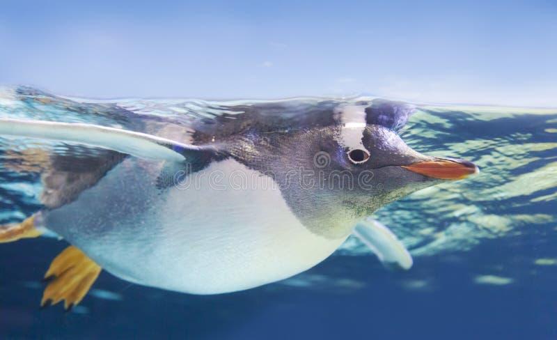 游泳Gentoo的企鹅在水面下 免版税库存照片