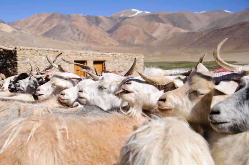 游牧人山羊Korzok村庄的在Tsomoriri湖,拉达克,印度附近 库存图片