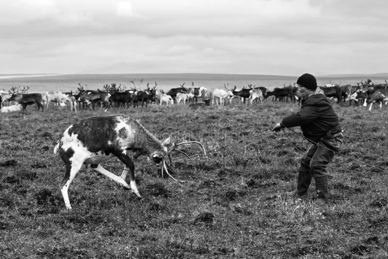 游牧人牧羊人由套索捉住驯鹿在迁移时 免版税图库摄影