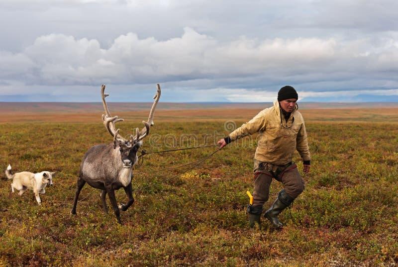 游牧人牧羊人由套索捉住驯鹿在迁移时 库存照片