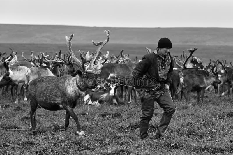 游牧人牧羊人由套索捉住驯鹿在迁移时 免版税库存图片