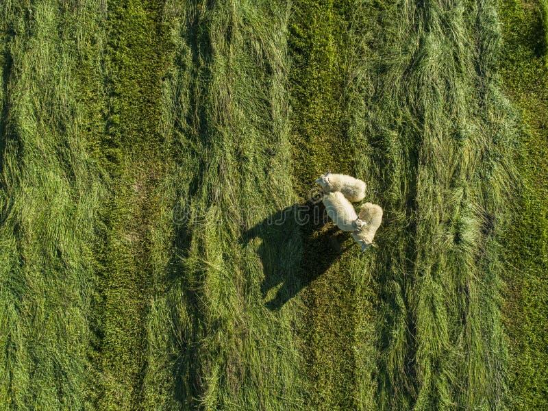 游牧羊 免版税库存图片