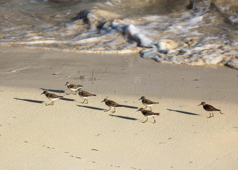 游行在沿沿海海岸线的沙子的矶鹞 免版税库存图片