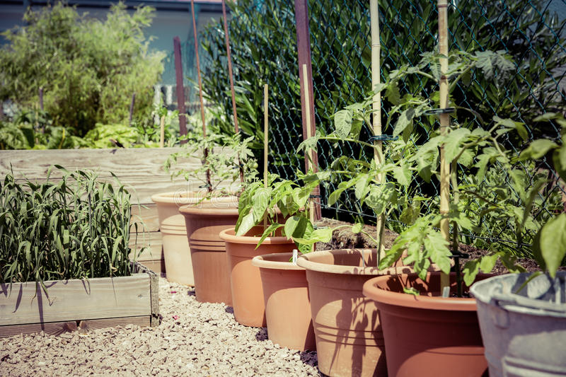 游击队员从事园艺的蕃茄饲养 库存照片