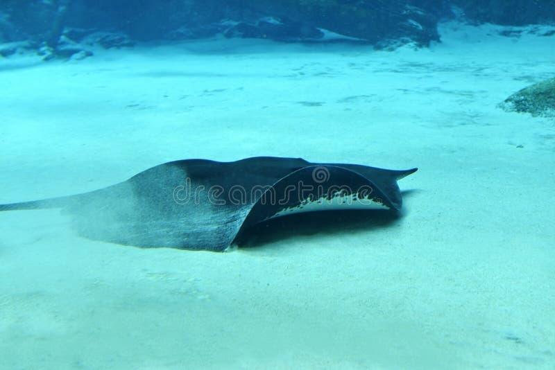 湄公河巨型淡水黄貂鱼 免版税图库摄影