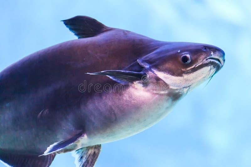 湄公河鲶鱼 库存照片