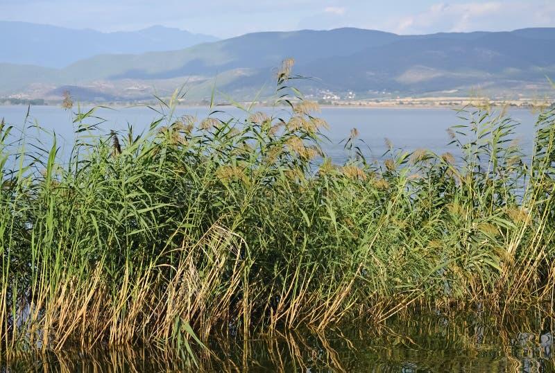 湖和绿色芦苇 库存照片