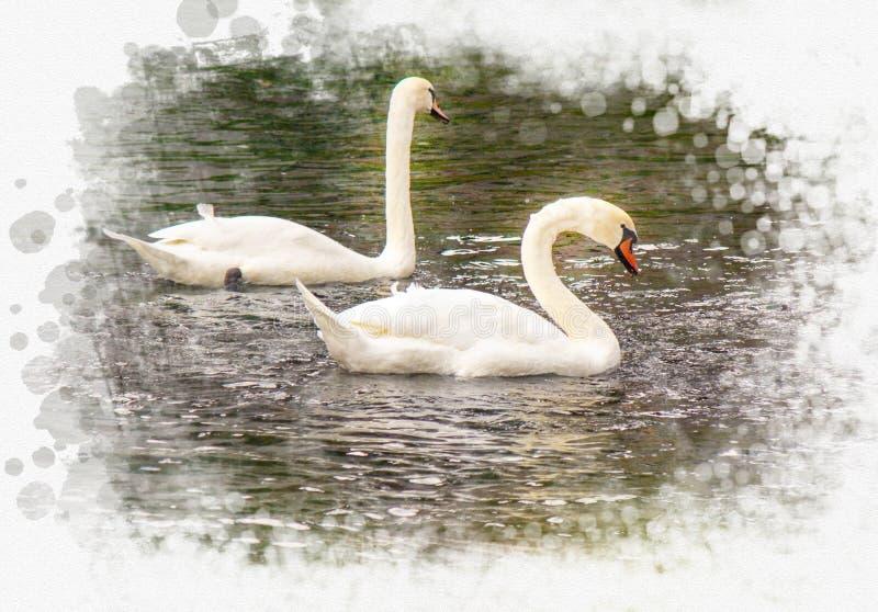 湖天鹅二白色 免版税库存图片